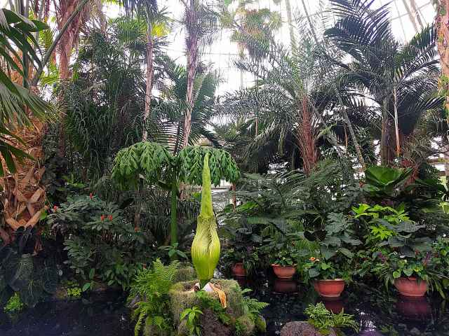 Corpse Flower NYBG (3)