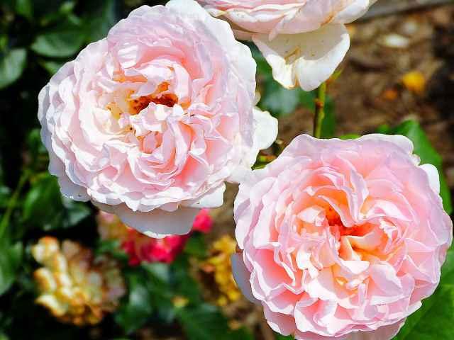 Rose NYBG (8)