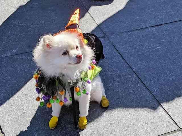 Dog Day Halloween Costume Party Parade Washington Square Park (6)