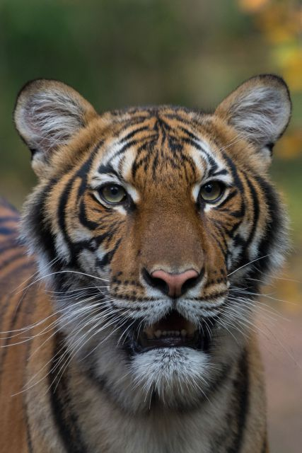 bronx-zoo-tiger-covid19