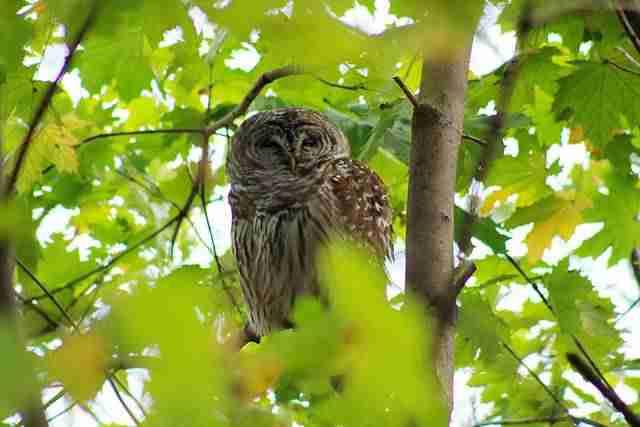 Owl Central Park (1)