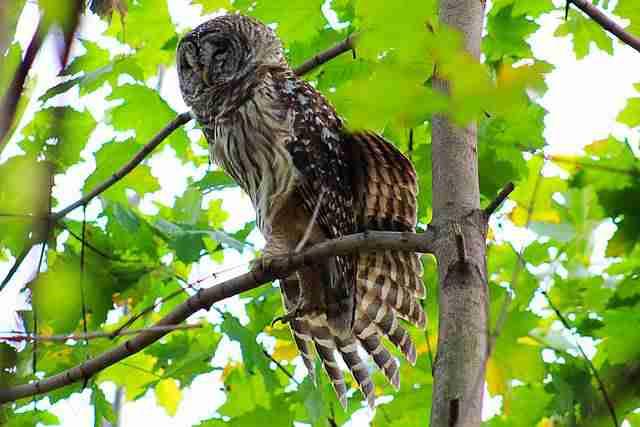 Owl Central Park (2)