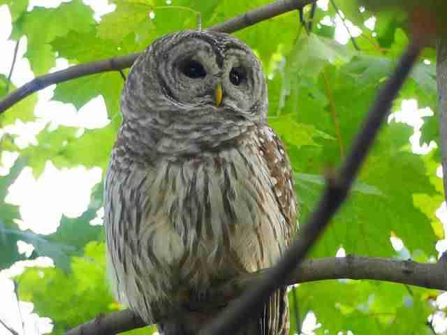 Owl Central Park (3)