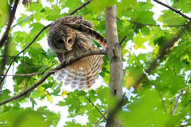 Owl Central Park (4)