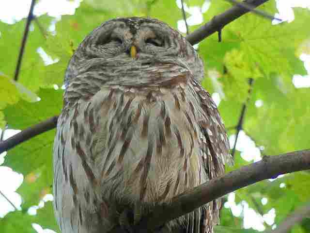 Owl Central Park (5)