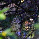 Owl (7)