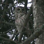 Owl (4)