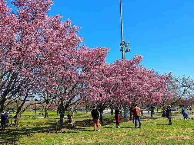 Cherry Blossom (8)