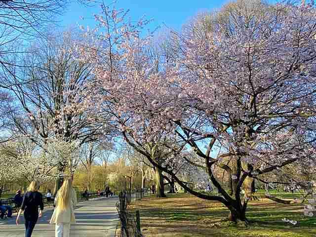 Cherry Blossom Central Park (1)