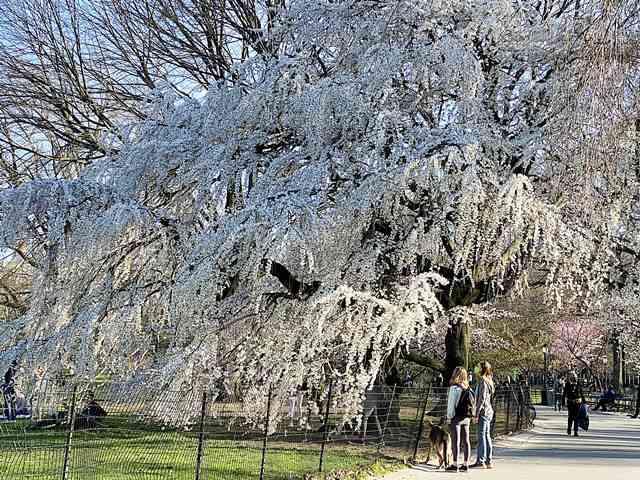 Cherry Blossom Central Park (2)