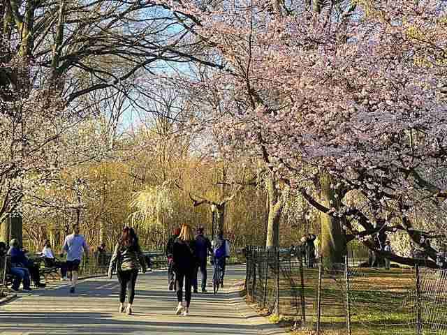 Cherry Blossom Central Park (3)