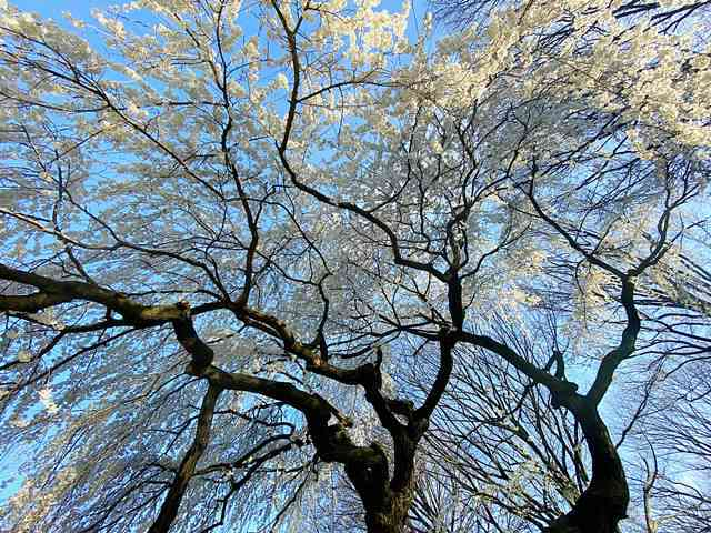 Cherry Blossom Central Park (4)