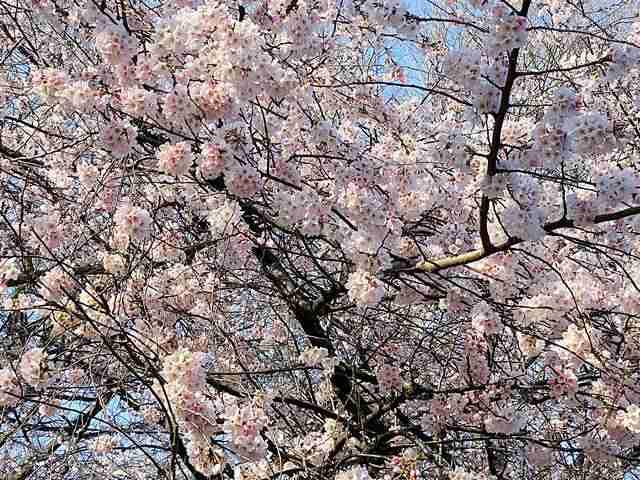 Cherry Blossom Central Park (5)