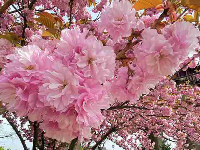 Cherryblossoms (4)