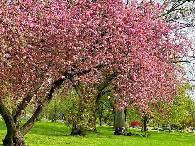 Cherryblossoms (5)