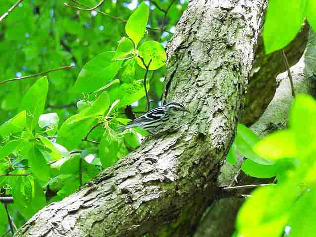 black-and-white-warbler