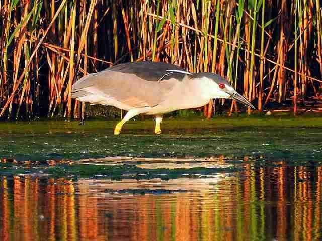 black-crowned-night-heron-1