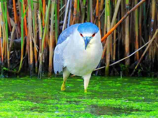black-crowned-night-heron-2
