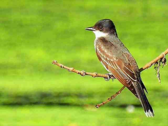 easter-kingbird-2