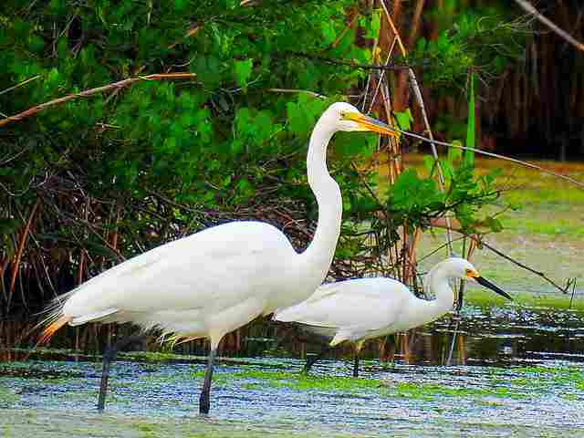great-and-snowy-egret