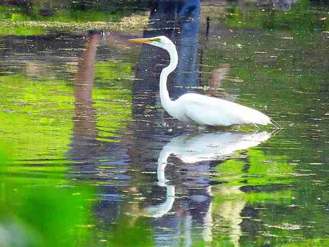 great-egret-central-park-nyc