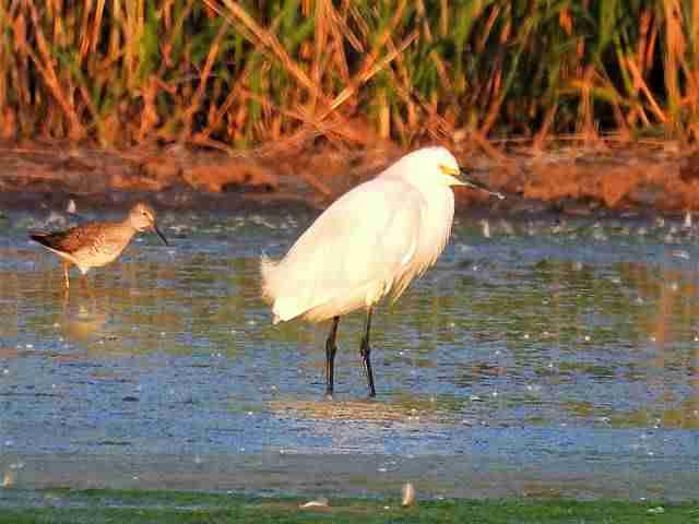 snow-egret-2
