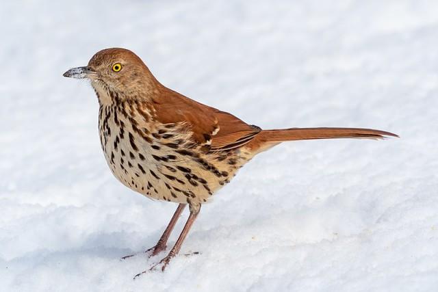 brown-thrasher-image