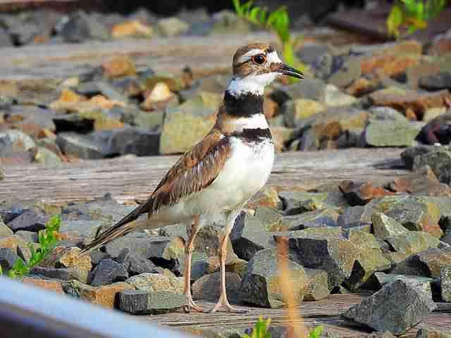 Bird (66)
